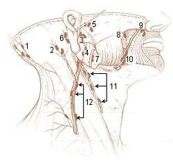 The preauricular deep parotid lymph nodes (anterior auricular glands or preauricular glands), from one to three in number, lie immediately in front of the tragus. Their afferents drain multiple surfaces, most of which are lateral in origin. A specic example would be the lateral portions of the eye's bulbar and palpebral conjunctiva as well as the skin adjacent to the ear within the temporal region. The efferents of these nodes pass to the superior deep cervical glands.