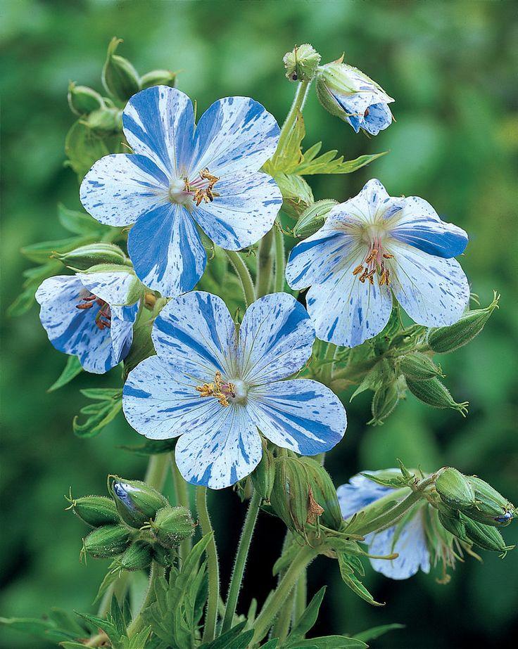 "WANT! Blue/white hardy geranium ""Splish splash"". Blå/vit pelargon"