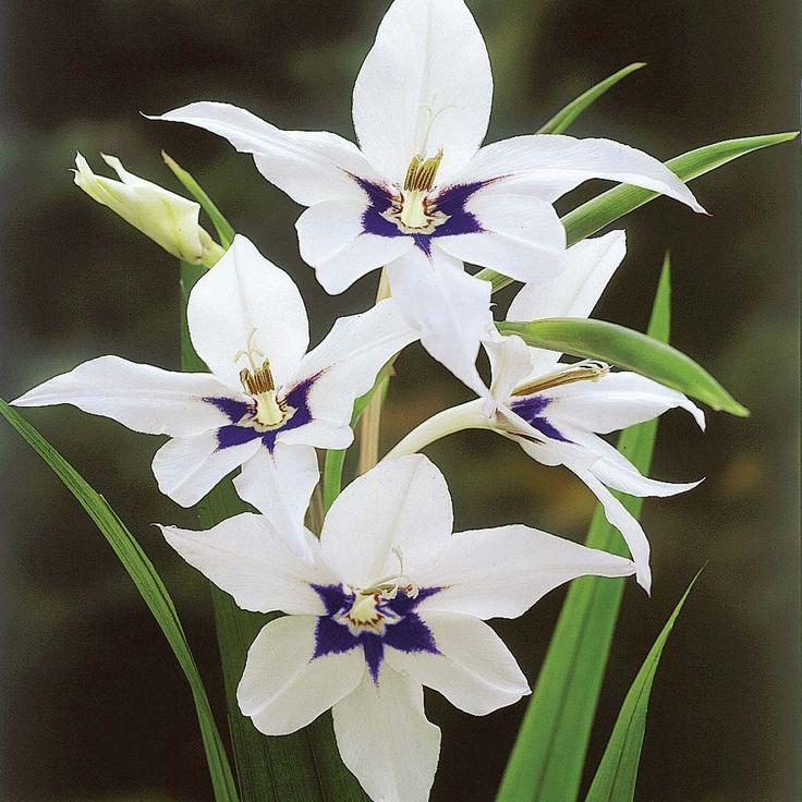Gladiolius murielae - Abyssinian Gladioli, Acidanthera, Peacock Orchid, Gladiolus callianthus  Half-hardy Corm