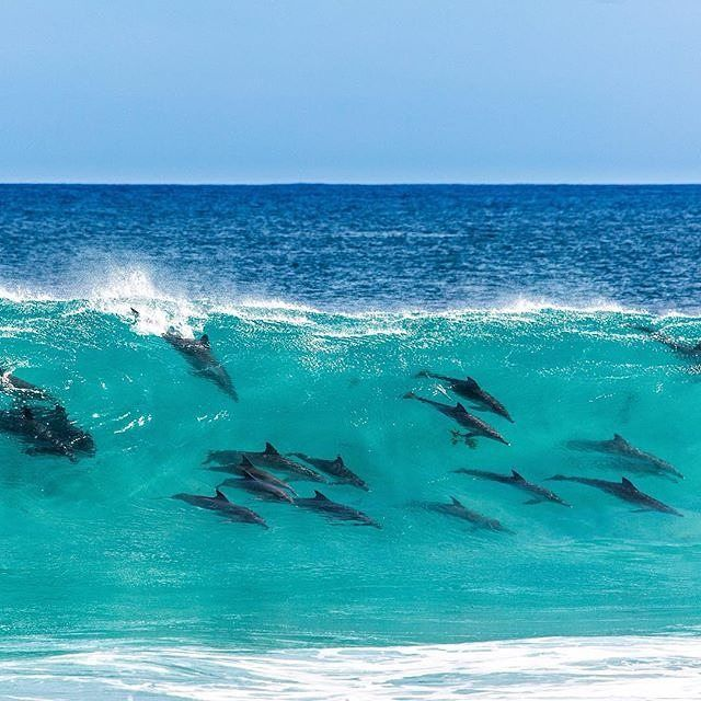 When the sun is shining the local #dolphins in @australiassw love to get together and surf waves. This region in @westernaustralia is known for being a marine life hotspot and is fringed by some of the cleanest water found anywhere. Some of the best places to spot dolphins in the wild here include Koombana Bay in Bunbury, King George Sound in Albany and Blackwood River and Flinders Bay