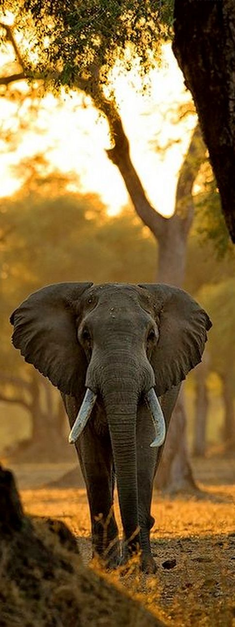 ** African Elephant   - Explore the World with Travel Nerd Nici, one Country at a Time. http://travelnerdnici.com