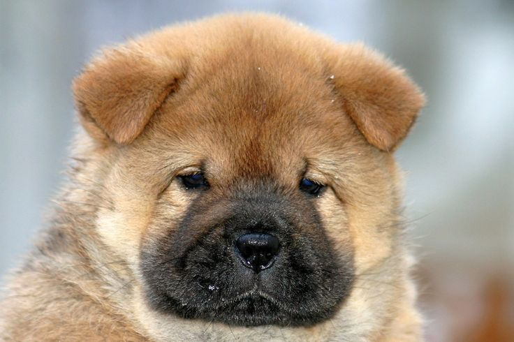 chows | Our Breed | Chow Chow Kennel Zung Tzung Le