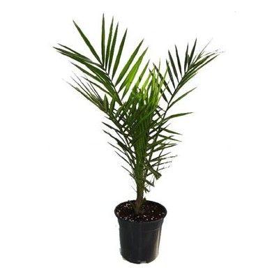 ampolnás növények - Fitoland.hu - Datolyapálma (Phoenix canariensis)