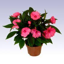 Nebáncsvirág rózsaszín, Impatiens x hawkeri 10-15 cm magas 11cs