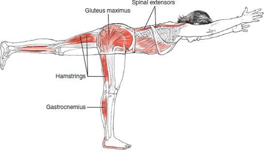 Warrior 3 - Leslie Kaminoff Yoga Anatomy Illustrated by Sharon Ellis