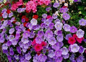 Proste w uprawie kwiaty balkonoweUprawi Kwiaty, Kwiaty Balkonow, Mały Ogródek