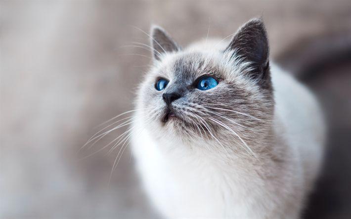 Download wallpapers Birman Cat, 4k, muzzle, pets, blue eyes, Birman, cats, Birmans