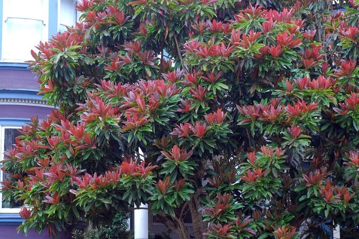 Eriobotrya Deflexa Bronze Loquat Project Rojo