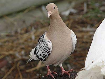 #Nuremberg #Lark #pigeon