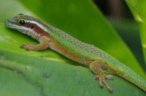 Les #animaux de nos îles ! #Gecko #Réunion