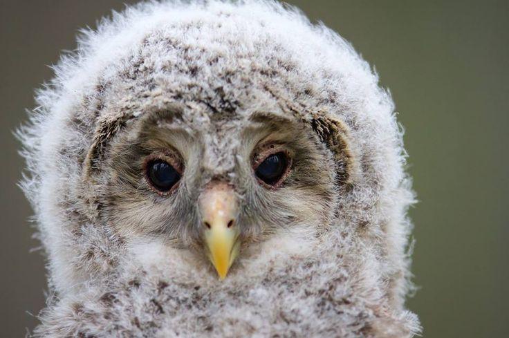 Lambkin owl! https://www.facebook.com/torpedoowl