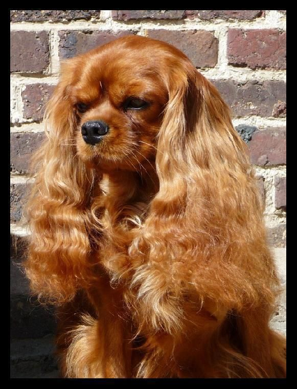Look at those ears. Cavalier King Charles Spaniel, such a dear breed of dog...