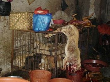Dead dogs are left on the cages containing the dogs that are waiting to be slaughtered - they must be absolutely terrified.