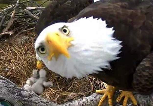 DC Eagle Cam: Bald Eagles nesting in Washington D.C. have hatched 2 eaglets. Keep watching for the live feed.