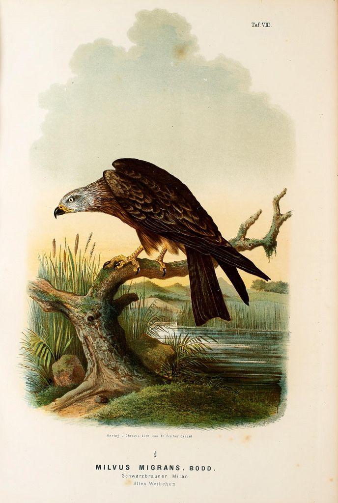Die Raubvögel Deutschlands und des angrenzenden Mitteleuropas;. Cassel [Germany]Verlag von Theodor Fischer,1876.. biodiversitylibrary.org/page/47850753