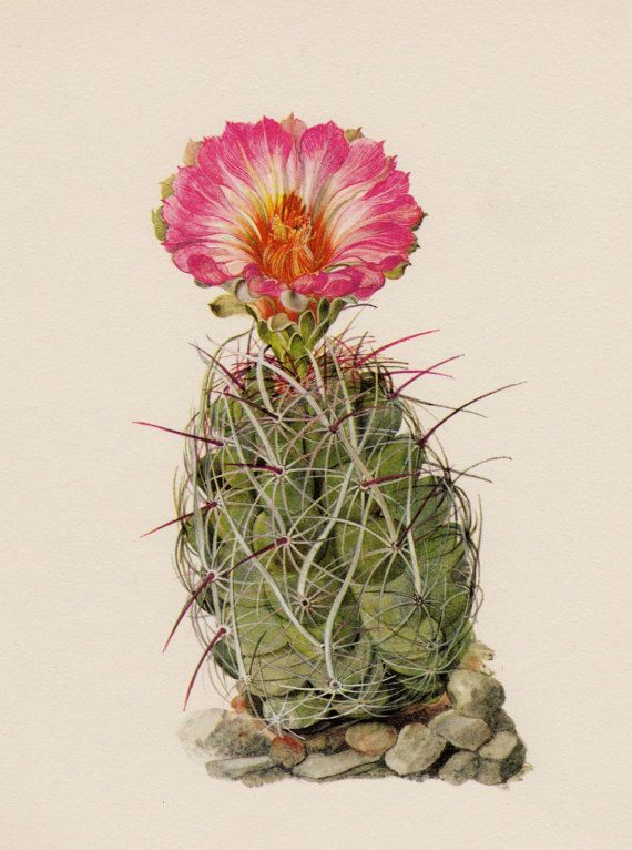 Cactus Print Botanical Print Straw Spine Cactus by plaindealing