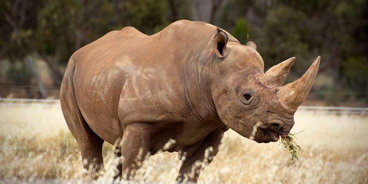 Black Rhinoceros Facts & Information - Monarto Zoo