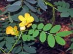 Endangered Senna acclinis or Rainforest Cassia to 3 m tall compound leaves to 15 cm, each with up to 6 pairs of oval-shaped leaflets at 15 mm with a gland between the lower one to four pairs of leaflets. Golden yellow cup-shaped flowers in groups two to five on short stalk, hanging on underside of branchlets. Seed pod 12 - 15 cm long, 6 - 8 mm wide and more or less flat. Can easily be mistaken for introduced Senna (formerly Cassia) species which are environmental weeds.