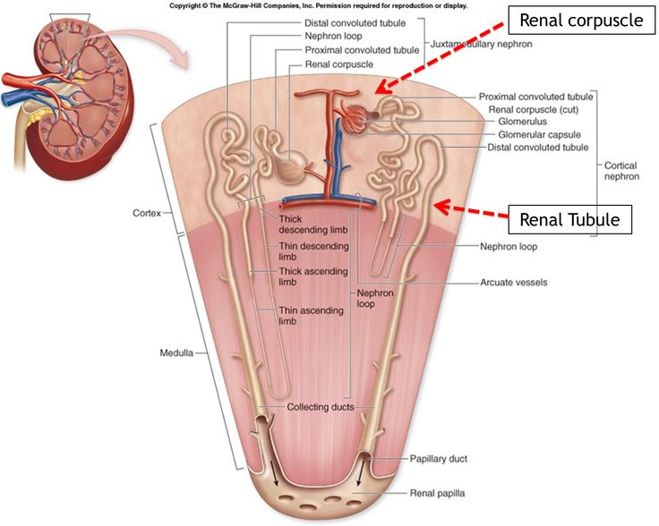 99 besten Anatomy Physiology Urinary System Bilder auf Pinterest ...
