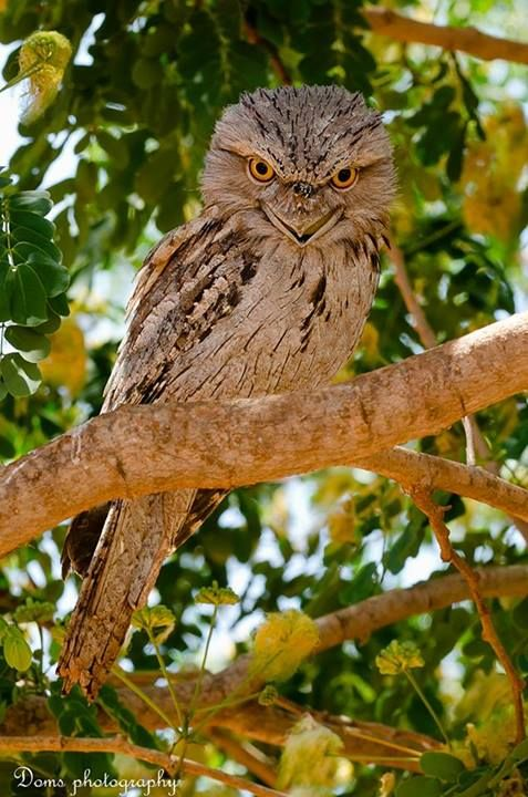 The Tawny Frogmouth (Podargus strigoides) is an Australian species of frogmouth, a type of bird found throughout the Australian mainland, Tasmania and southern New Guinea.