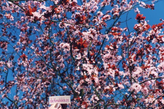 die Kirschblüte - cherry blossom