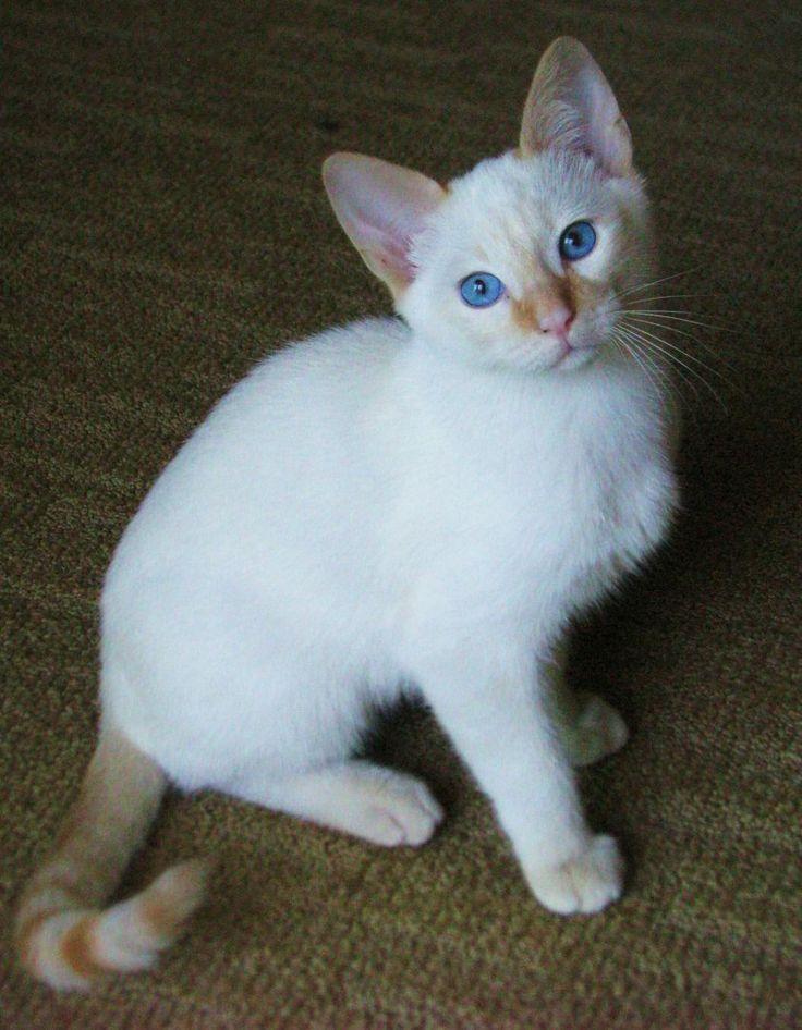 Flame point Siamese kitten FlamePoint Siamese Pinterest