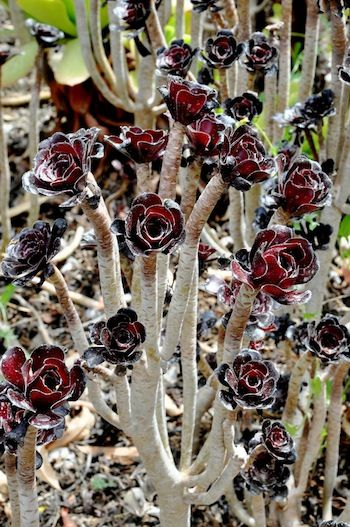Succulent - Aeoniums are dormant during the summer months in California.