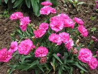 Dianthus - Most garden varieties of Dianthus plants grow from 10 to 20 inches tall receive at least 4-5 hours of full sun each day