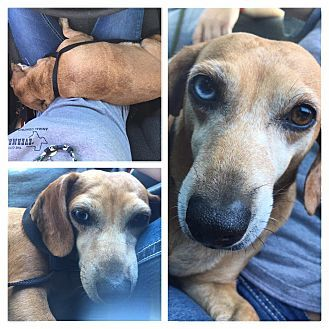 Pictures of Lucy a Dachshund for adoption in Everman, TX who needs a loving home.