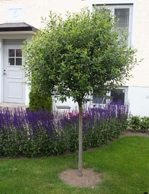 """Klotkörsbär, Prunus Eminens """"Umbraculifera"""""""