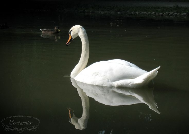 Swan (water reflection)