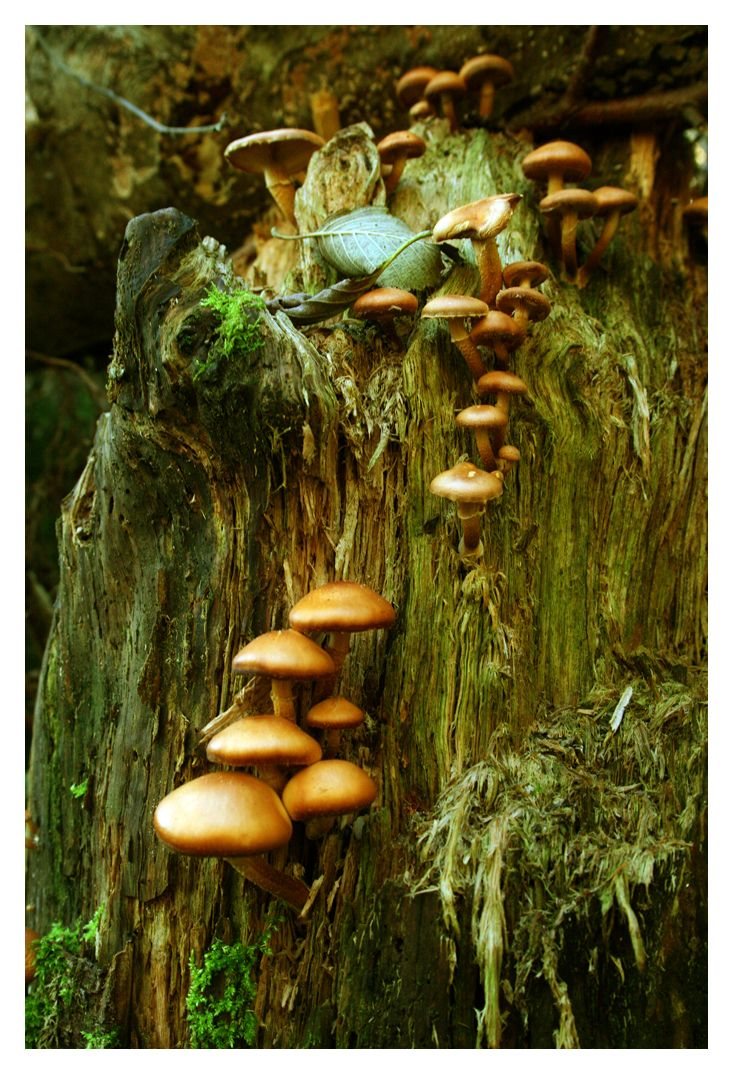 Wild Toadstools..the perfect remedy for a fairy tummy ache, just boil in with willow park and thistle berry and it makes a delicious tea!