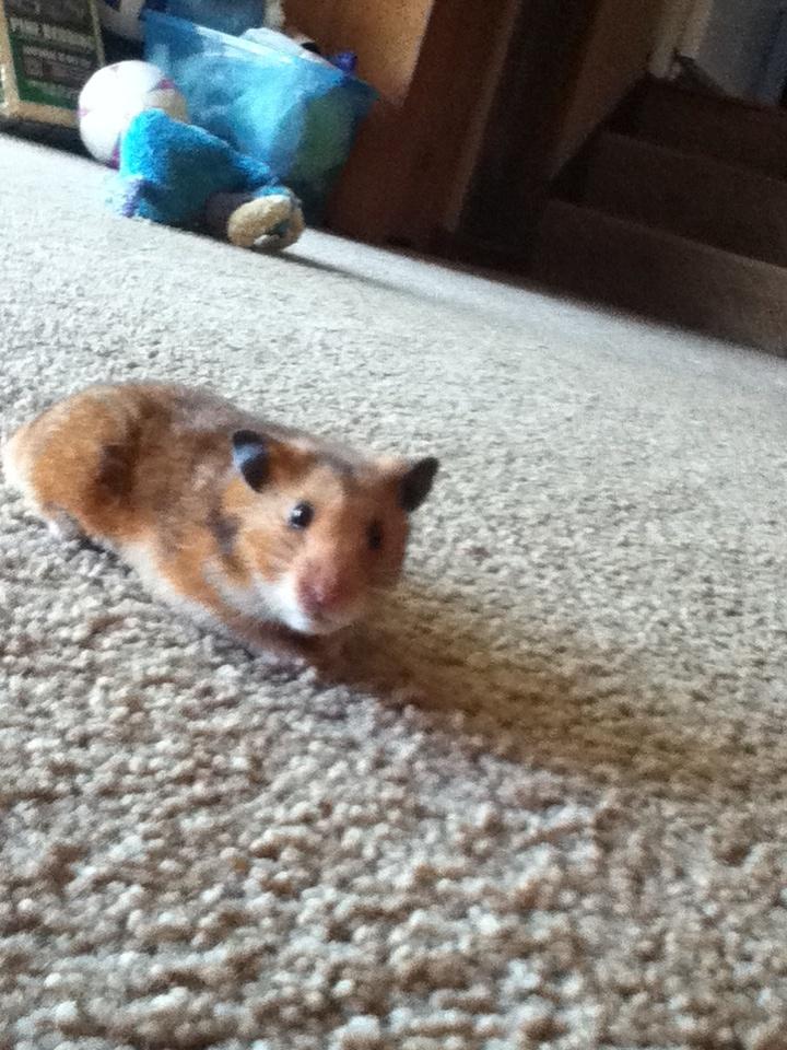 cute little hamsters photos - photo #21