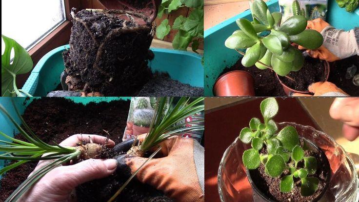 Комнатные растения.  Большая пересадка растений в хорошие дни по лунному...