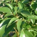 Dossier sur l'huile essentielle ravintsara - Cinnamomum camphora ct cinéole - Propriétés, utilisations, recettes santé et bien-être.