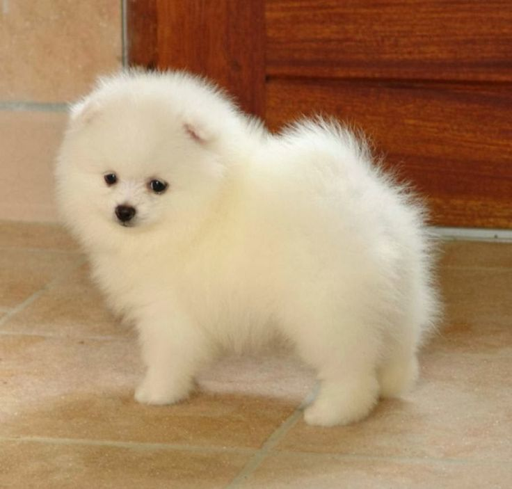See more How to Groom a Pomeranian?