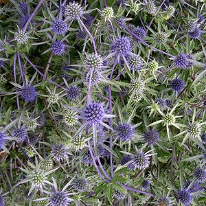 Eryngium x tripartitum (AGM).  A bushy herbaceous perennial with olive-green/grey basal leaves.  The upright, flowering stem bears lapis-lazuli thistle-like flowers with dark blue bracts that mature to a silvery-green colour from end July-September.  Up to 1m x 50cm.