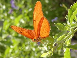 Hundreds of butterflies will take flight in Lewis Ginter Botanical Garden's glass Conservatory in 2012. The Butterflies LIVE! exhibit is back by popular demand and will feature showy tropical species from May 25 - October 14, 2012.