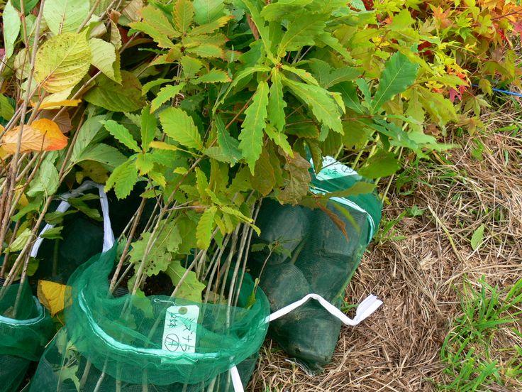 ≪Present Tree in 宮古≫ 第2回植樹イベント_20131013 ミズナラの苗木です。ドングリはいつ頃実るかな。