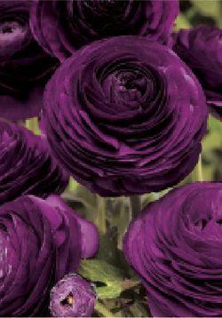 flowersgardenlove:Purple-Persian-Butte BeautifulBeautiful Flower, Shades Of Purple, Deep Purple, Colors, Gardens, Dark Purple, Wedding Flower, Purple Ranunculus, Purple Flower