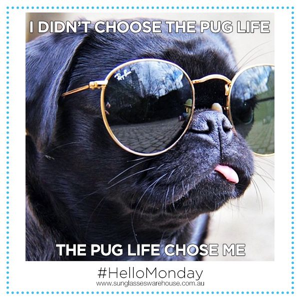"""Greetings from the Pug thug! #HelloMonday  Wear your own cool pair of sunglasses, shop now at: http://www.sunglasseswarehouse.com.au/"""