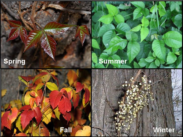 Poison ivy throughout the year. Image from Camping with Gus.