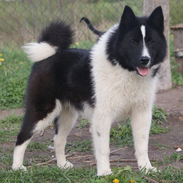 East Siberian Laika | Dog Breeds A - H | Pinterest