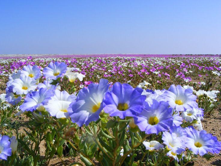 Desierto Florido, Chile