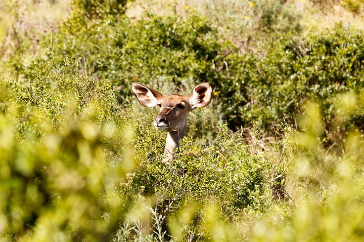 I see you ... Addo Elephant National Park is a diverse wildlife conservation park situated close to Port Elizabeth in South Africa and is one of the country's 19 national parks.