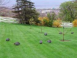 Guineas. They kill/eat ticks, japanese beetles, and even snakes. They eat weed seeds. They don't destroy garden like chickens.