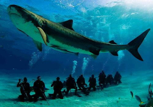 A large female tiger shark (Galeocerdo cuvier) circles a group of divers (credit: Jim Abernethy )