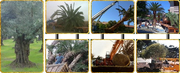 large tree transplanting service Ancient olive trees and mature olive tree for sale