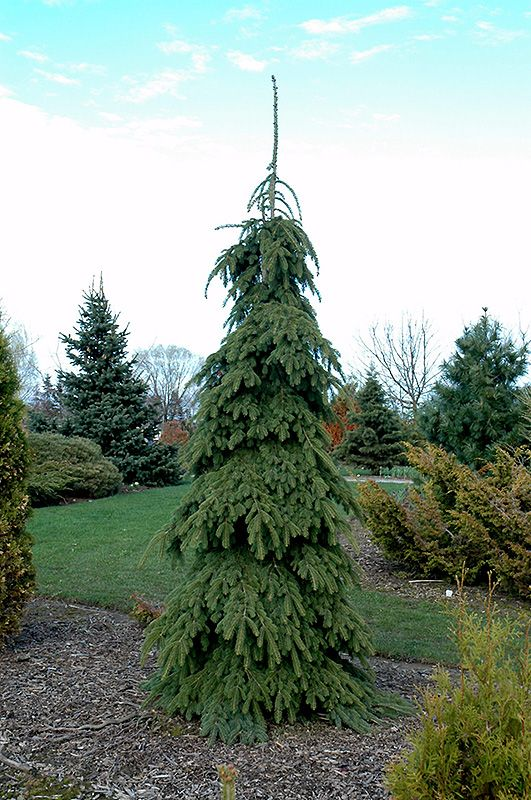 Weeping White Spruce (Picea glauca 'Pendula') at Connon Nurseries CBV