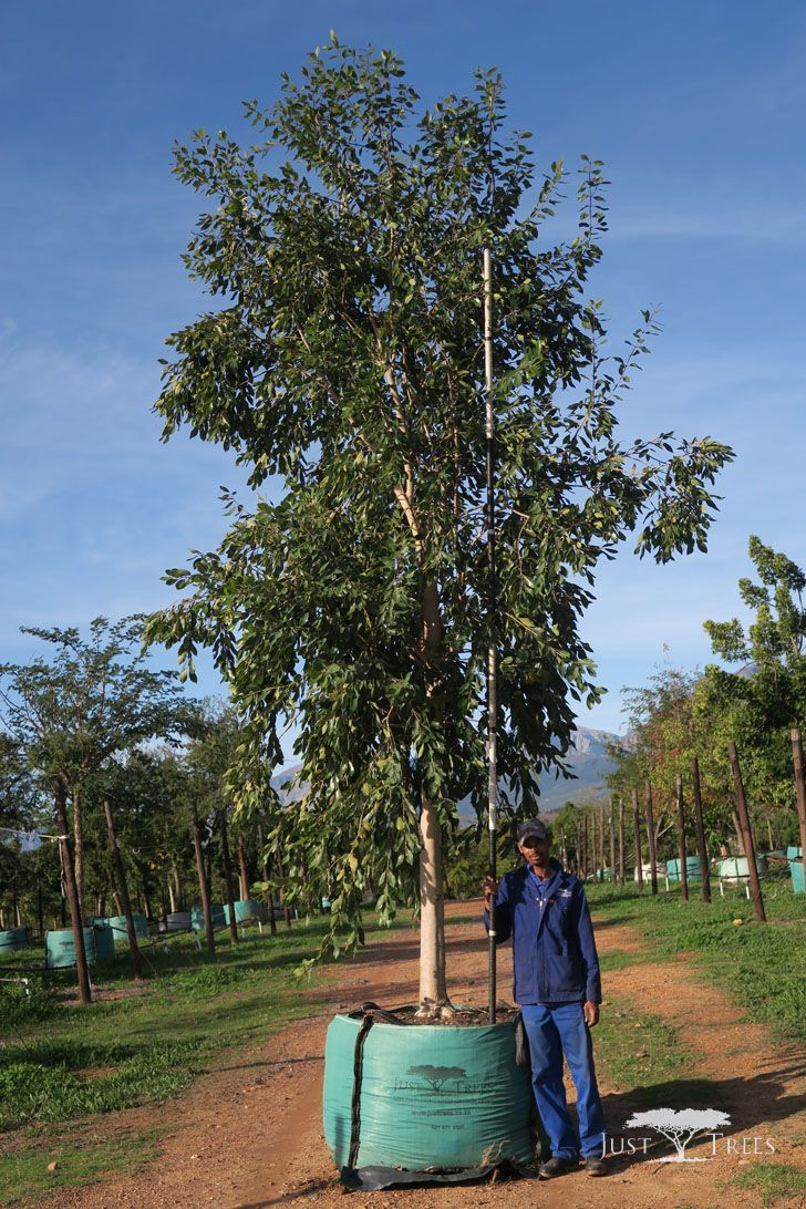1000L Syzygium guineense. The Water Pear is a beautiful evergreen, indigenous to South Africa and is popular as a shade tree. A medium to large tree, the Water Pear has edible fruits, an attractive foliage and smooth greyish bark
